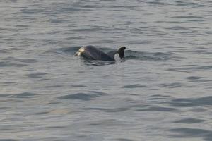 dauphins-bernard-grua