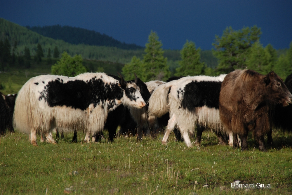 Yaks, monts Saïans orientaux, photo de Bernard Grua
