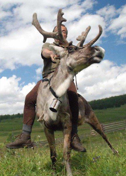 Bernard Grua sur un renne d'Ourda Oure, pays des Soyts, plateau de l'Oka, Monts Saian Orientaux, Sibérie